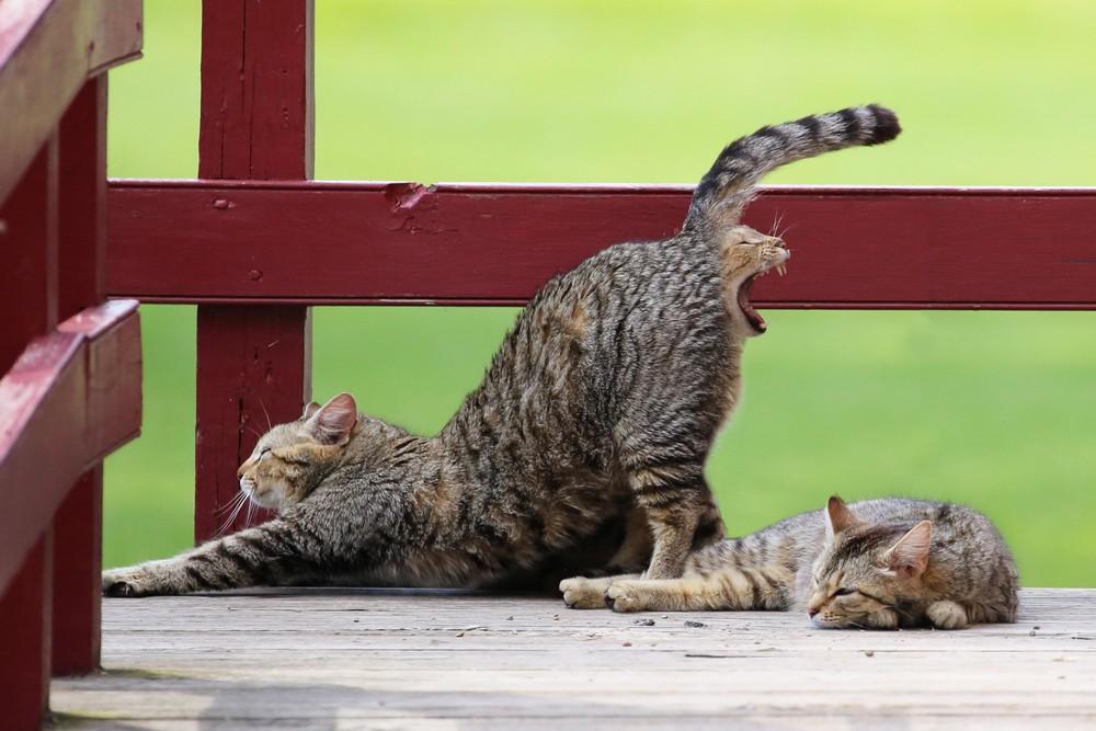 Двусторонний кот